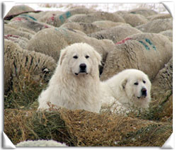 Akbash and Maremma guard dogs on duty