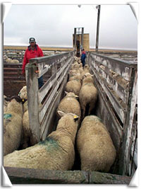 Loading ewes for the ride home at the sheep co-op