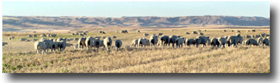 Fall grazing in Southwest Saskatchewan